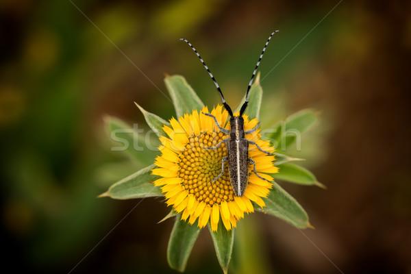 Flat-faced longhorn beetle (Agapanthia cardui) Stock photo © digoarpi