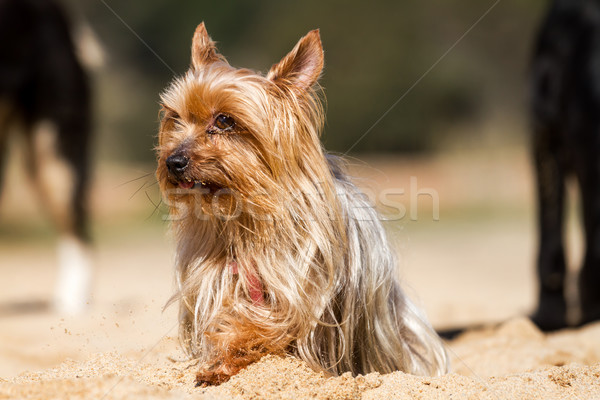 Yorkshire terriyer genç köpek oturma kum Stok fotoğraf © digoarpi