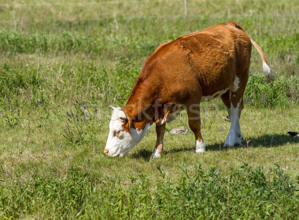 Cow Stock photo © digoarpi
