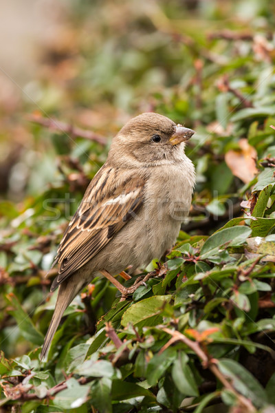 воробей молодые женщины лес саду птица Сток-фото © digoarpi