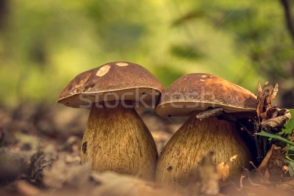Grzyby borowik żywności charakter liści zielone Zdjęcia stock © digoarpi