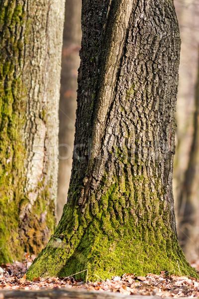 Oak trunk Stock photo © digoarpi