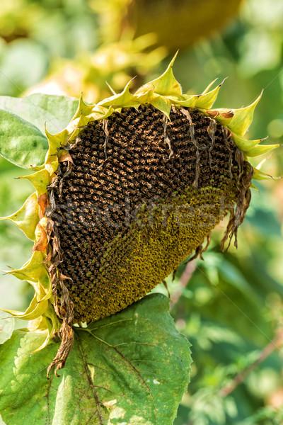 Sunflower  Stock photo © digoarpi