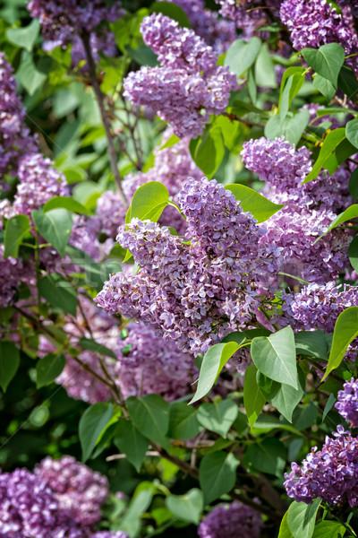 Common lilac (Syringa vulgaris)  Stock photo © digoarpi