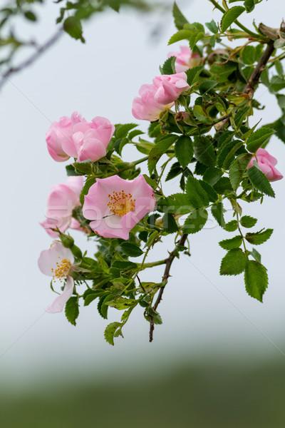 Beautiful blooming wild rose bush Stock photo © digoarpi