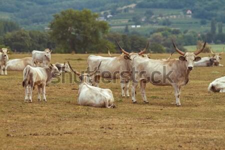 Húngaro belo cinza família cabelo animal Foto stock © digoarpi
