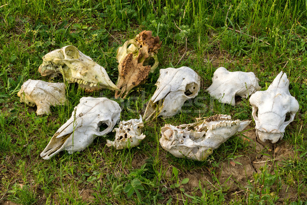 Skulls Stock photo © digoarpi