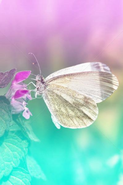 White Butterfly - Pieris brassicae Stock photo © digoarpi