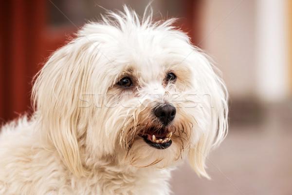 Portrait of cute maltese dog Stock photo © digoarpi