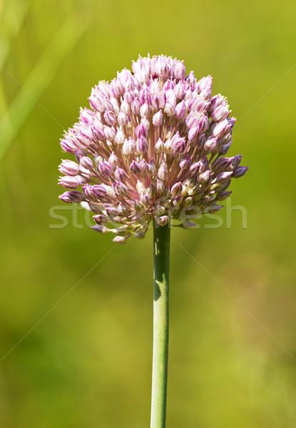 Onion flower Stock photo © digoarpi