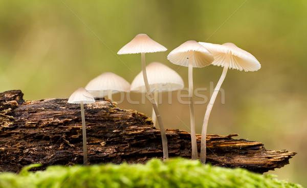 Fungo belo floresta cogumelo musgo madeira Foto stock © digoarpi