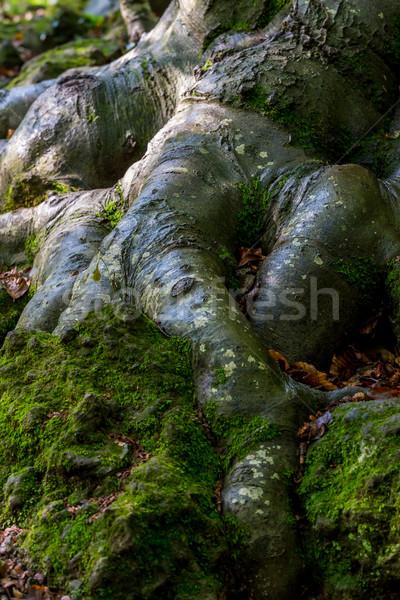 дерево корень лес солнце лист Сток-фото © digoarpi