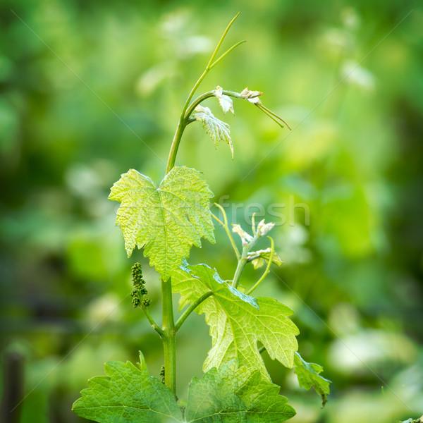 Winorośl piękna winogron wiosną wygaśnięcia Zdjęcia stock © digoarpi