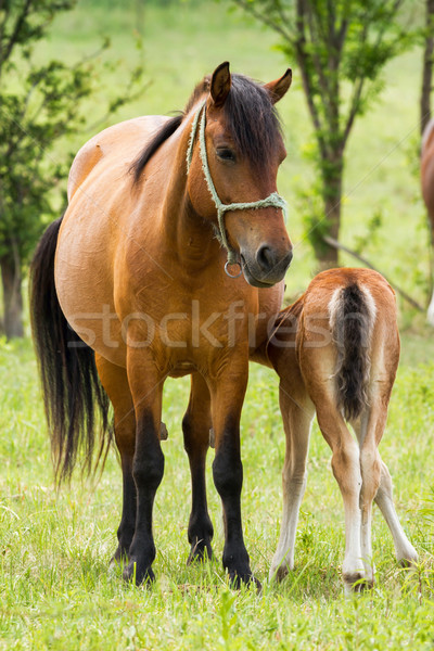 Horse family Stock photo © digoarpi