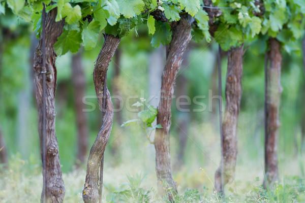 Szőlőtermelés gyönyörű sorok szőlő tavasz tájkép Stock fotó © digoarpi