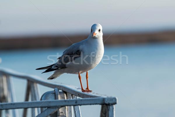 Mewa sztaluga wody charakter ptaków Zdjęcia stock © digoarpi