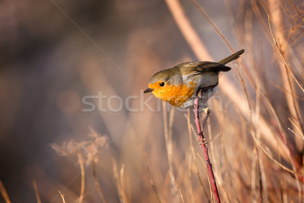 Stock photo: Skillful robin bird on the branch