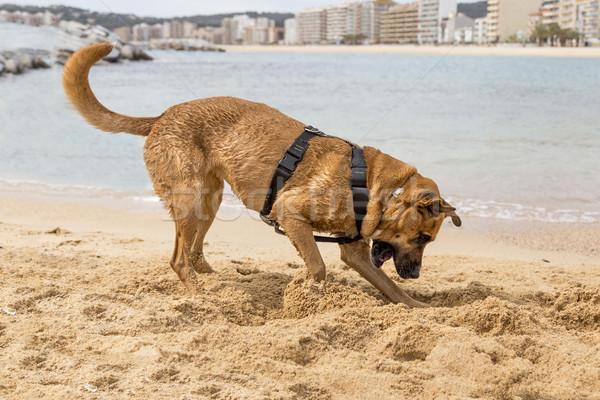 коричневая собака воды природы безопасности песок полиции Сток-фото © digoarpi