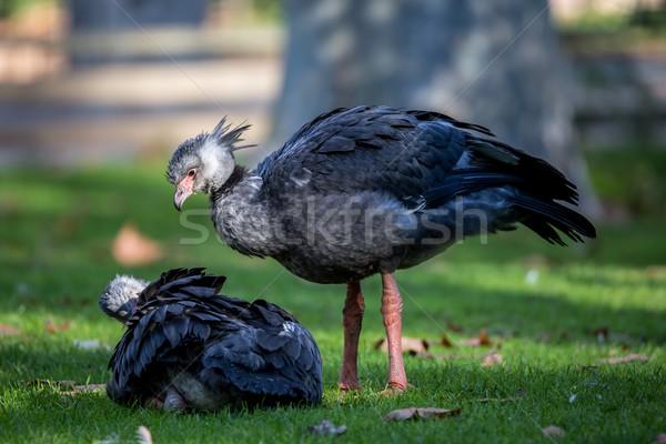 Southern screamers (Chauna torquata) on the grass Stock photo © digoarpi