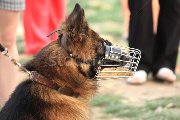собака черный подготовки безопасности защиту сильный Сток-фото © digoarpi