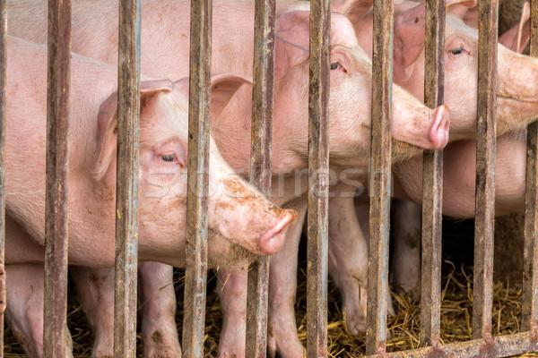 Young pigs Stock photo © digoarpi