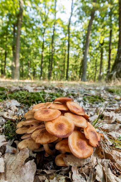 Mel fungo floresta natureza paisagem grupo Foto stock © digoarpi