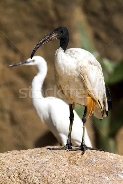 África sagrado aves pluma caminando negro Foto stock © digoarpi