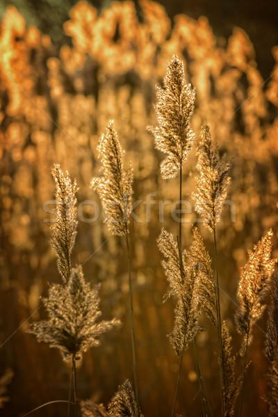 Reed Stock photo © digoarpi