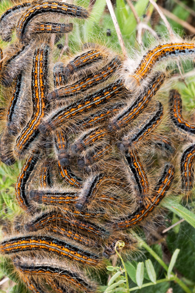 Jonge rupsen nest vlinder natuur haren Stockfoto © digoarpi