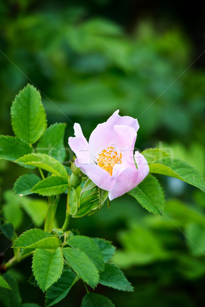 Dog rose (Rosa Canina) Stock photo © digoarpi