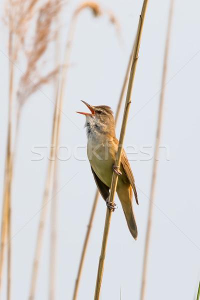 Great reed warbler Stock photo © digoarpi