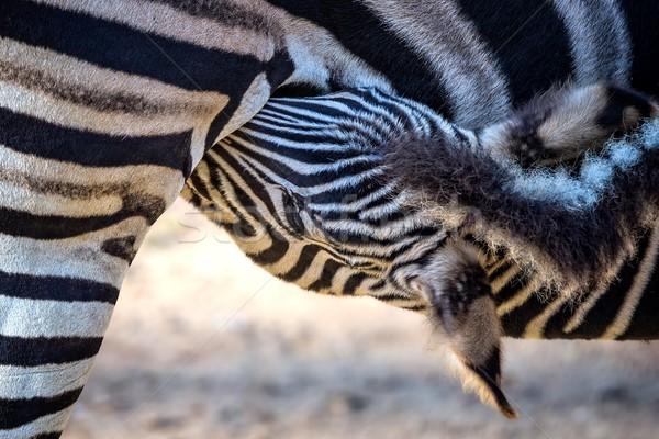 Zebra aile portre sevmek doğa Stok fotoğraf © digoarpi