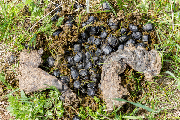 Besouro inseto branco macro marrom Foto stock © digoarpi