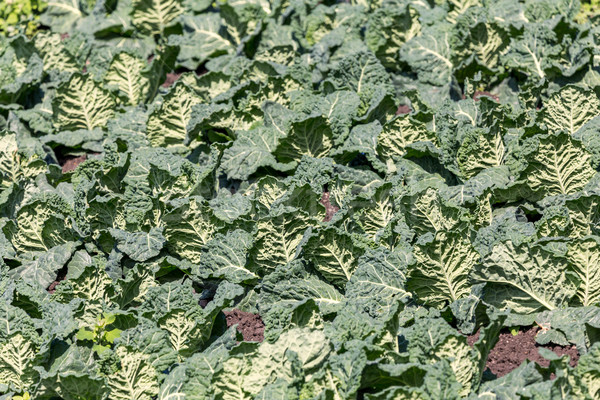 Green kale at spring from the farm Stock photo © digoarpi
