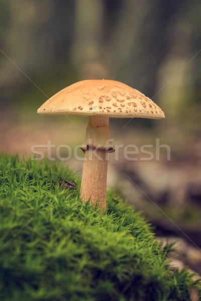 Edible Blusher fungi (Amanita rubescens) Stock photo © digoarpi