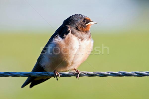Swallow Stock photo © digoarpi