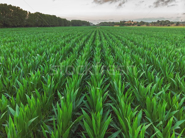 Aerial shoot from a maize rows in Spain Stock photo © digoarpi
