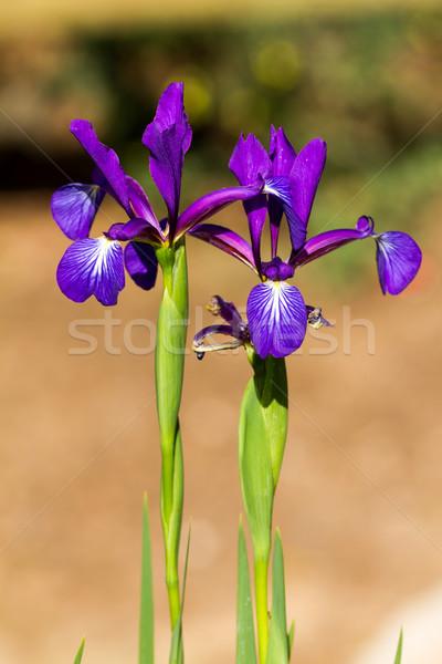 írisz virág zöld tavasz természet nyár Stock fotó © digoarpi