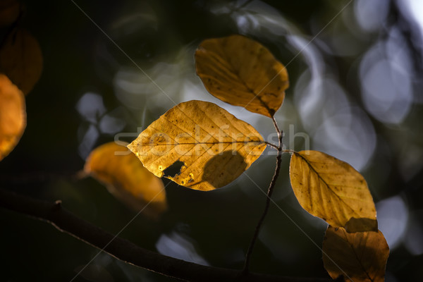 Close up of colorful autumn beech leaves Stock photo © digoarpi