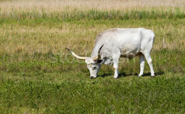 Hungarian grey bull Stock photo © digoarpi