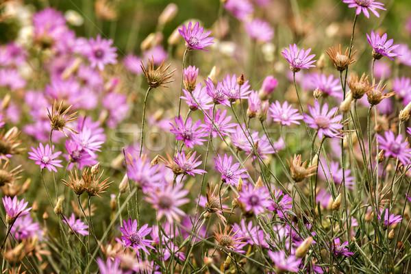Gyönyörű vad virágok közelkép legelő zöld rózsaszín Stock fotó © digoarpi