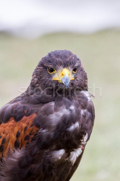 Közelkép barna sas szem természet toll Stock fotó © digoarpi