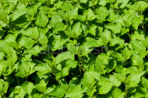 Stinging nettle Stock photo © digoarpi