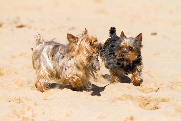 Yorkshire Terrier Stock photo © digoarpi