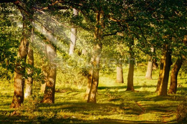 Stok fotoğraf: Orman · yeşil · meşe · ağaçlar · doğa · ışık
