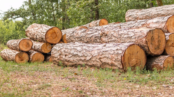 Big pile of wood in the forest Stock photo © digoarpi