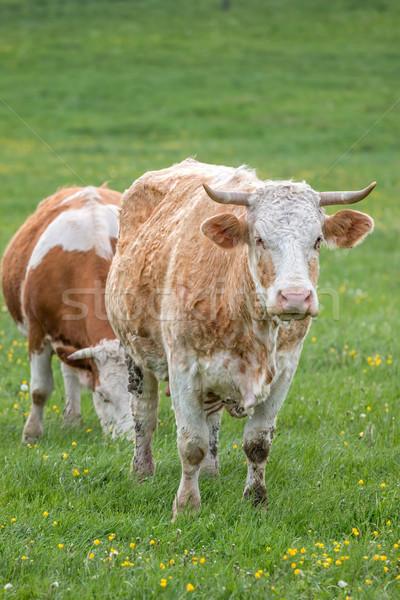 Húngaro vacas branco animal Foto stock © digoarpi