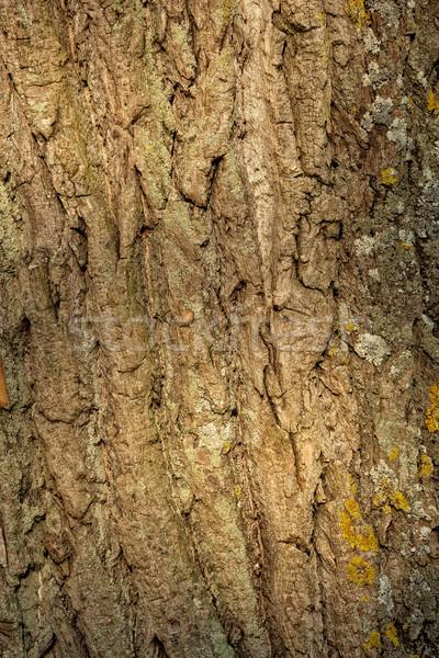 Close-up of a bark of old poplar tree Stock photo © digoarpi