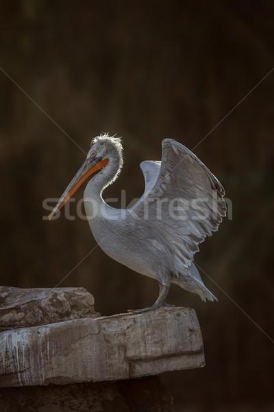 далматинец портрет воды природы плаванию белый Сток-фото © digoarpi