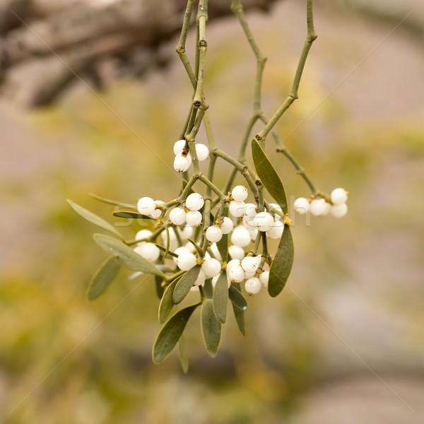 Muérdago blanco bayas álbum invierno planta Foto stock © digoarpi